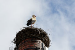Stork standing in its nest Stock Photography