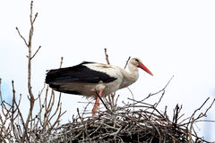 Stork standing in the nest Stock Photos