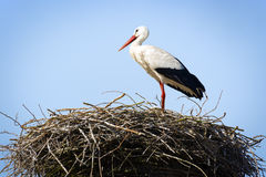 Stork standing in nest Stock Image