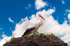 Stork standing on a nest Royalty Free Stock Image