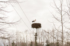 Stork standing in the nest. On the top of an electric pole Royalty Free Stock Images