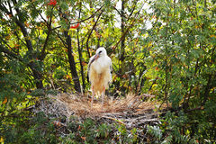 Stork standing in  nest Stock Photos
