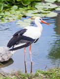 Stork standing in the ode in the lake Stock Photography