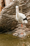 A stork is standing on one leg Stock Image