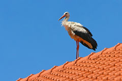 Stork standing on roof Royalty Free Stock Image