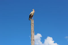 Stork standing on the telegraph-pole Stock Photography