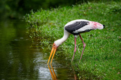 Stork. Stork Standing Waterside In Khao Kheow Open Zoo,Thailand Stock Photos