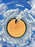 Stork is standing on the wheat field. Circular panorama. stork is standing on the wheat field on the farm Royalty Free Stock Photos