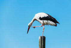 Stork standing on wooden pole Royalty Free Stock Image