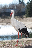 The stork stands near the lake. Stock Photos