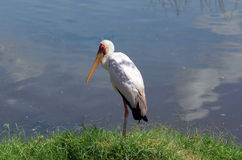 Stork. Storck captured during safari in Kenya Royalty Free Stock Photos