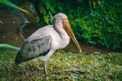 Stork. Bird, freshwaterbird, forest, birdphotography stock image
