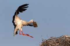 Stork with straw in beak approaching nest Royalty Free Stock Photo