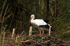 Stork. Strok on a nest, on the ground Stock Image