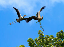 Stork Stunts. A pair of painted storks horsing around in flight and almost have an accident stock photo