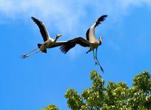 Stork Stunts Stock Photo