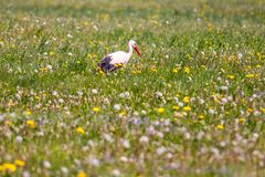 Stork in summer meadow Royalty Free Stock Images