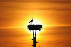 Stork in the sunset Royalty Free Stock Photos