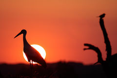 Stork and sunset Royalty Free Stock Photos
