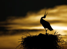Stork in sunset Stock Photo