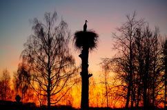 Stork and a sunset. Silhouette of a stork against sunrise Royalty Free Stock Images