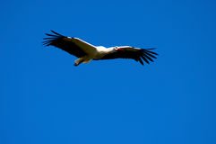 Stork, symbol of spring. Stock Photo