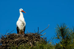 Stork, symbol of spring. stock photography