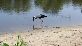 Stork takes food in the water,. Near the shore of the Pripyat River. Belarus. Afraid to fall videographer. Video shot on the Canon 70D stock video