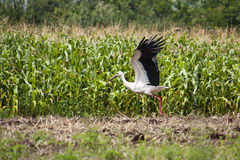 Stork taking off Royalty Free Stock Images