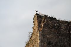 Stork on top of a fortress wall Stock Photography