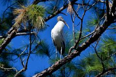 Stork in tree against blue skies. Stork perched in pine tree against blue skies on sunny day in marshland of Florida Royalty Free Stock Image