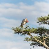 Stork in tree Royalty Free Stock Photos
