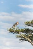 Stork in tree Royalty Free Stock Images