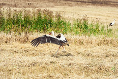 Stork try to fly above the field Stock Photos