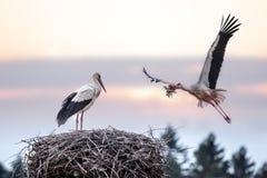 Stork Stock Photos