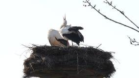 Stork stock video