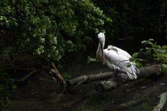 Stork Royalty Free Stock Photos