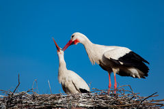 Stork in Vitoria Royalty Free Stock Photography