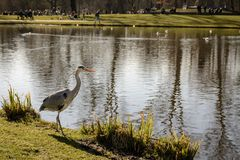 A stork at Vondelpark in Amsterdam Netherlands. March 2015. Landscape format royalty free stock image