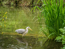 Stork Wading a Lake in Wild Nature Stock Images