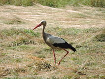 Stork walk in field Royalty Free Stock Photography