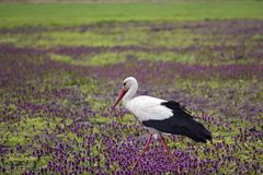 Stork walking in field with lilac flowers. Scene of wildlife Royalty Free Stock Photo