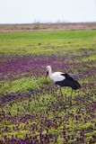 Stork walking in a field with lilac flowers. Scene of wildlife Royalty Free Stock Photo