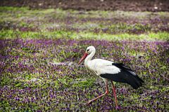 Stork walking in a field with lilac flowers. Scene of wildlife Royalty Free Stock Photography