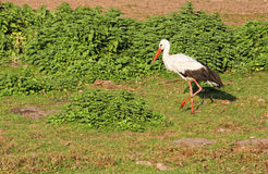 Stork. Walking in the grass Royalty Free Stock Photography
