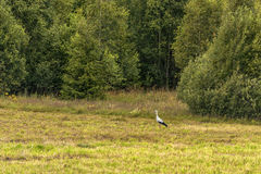 Stork is walking on the grass. Stock Photos