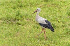 Stork is Walking on the grass in rural area. Royalty Free Stock Photo