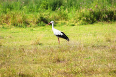 Stork is Walking on the grass Royalty Free Stock Photography