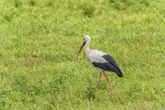 Stork is Walking on the grass in rural area. Dirty Beak Royalty Free Stock Photography