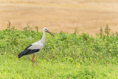 Stork is Walking on the grass in rural area. Dirty Beak Stock Photos